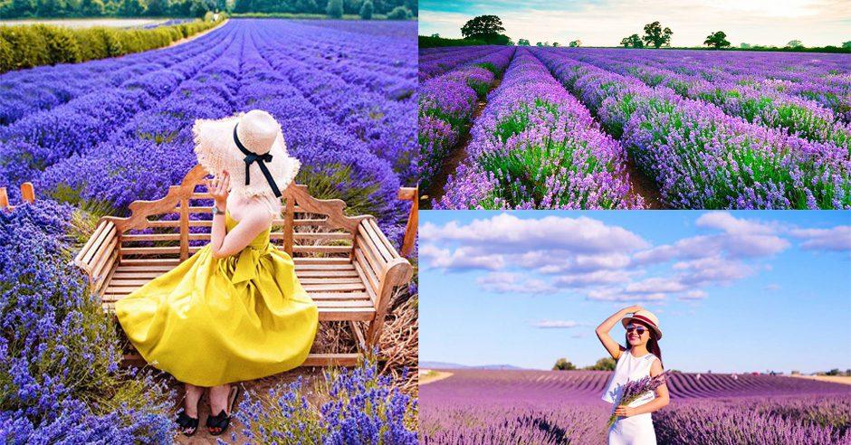 Cánh đồng hoa Lavender hồ Tuyền Lâm