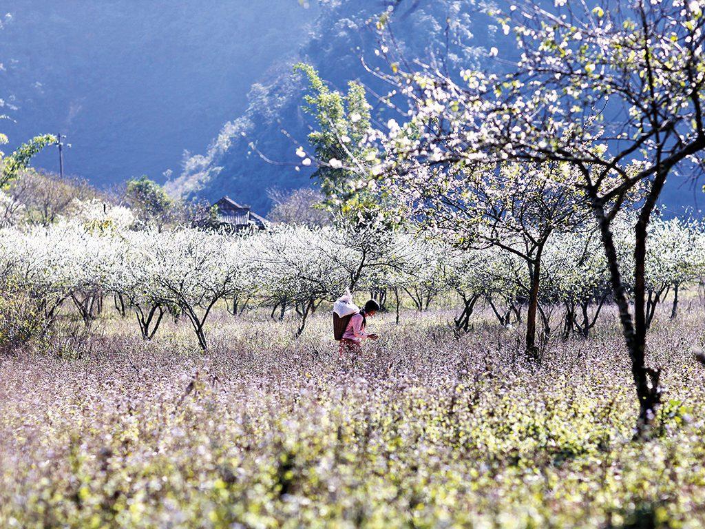 Du lịch Mộc Châu mùa hoa ban nở