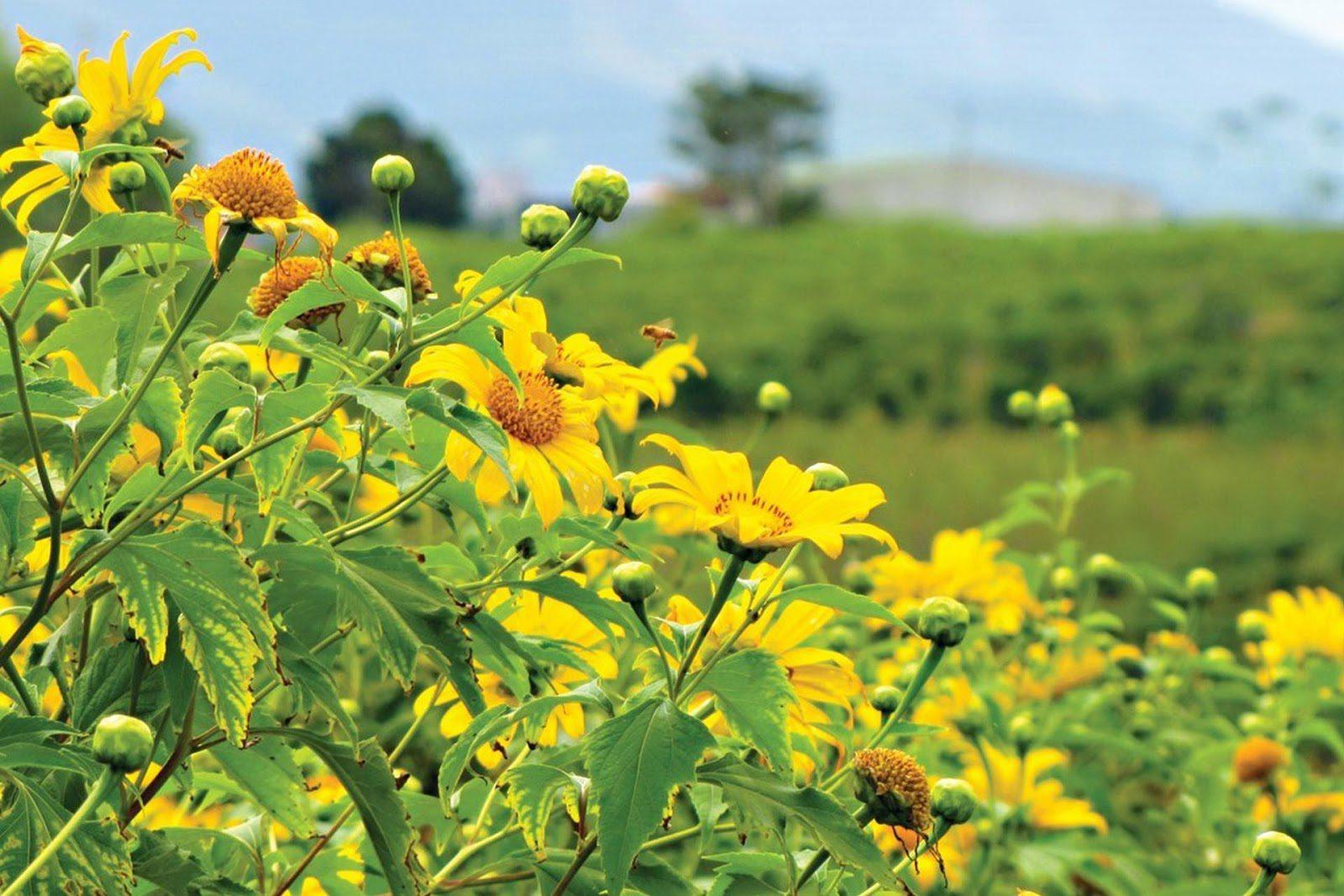 Mộc Châu tháng 10 – 11 mùa hoa dã quỳ rực rỡ