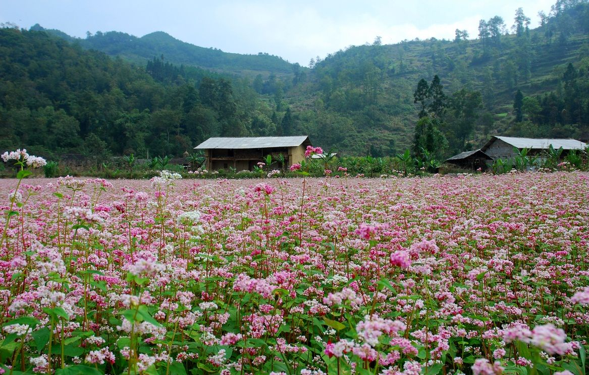 Mộc Châu tháng 9 với hoa tam giác mạch