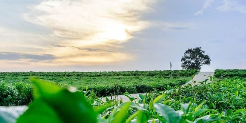 Khám phá Đồi chè Đông Giang - Địa điểm check in siêu hot tại Đà Nẵng